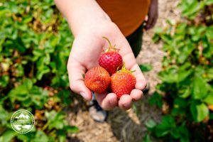 Strawberry Picking & I Run Our Bikes Into an Overhang 8